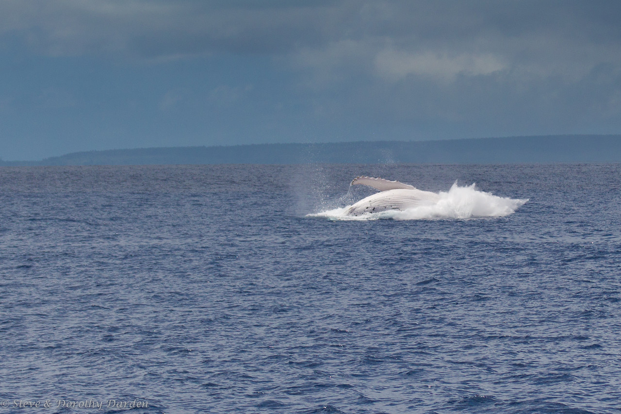 Breaching humpback whales enroute to Ile des Pins