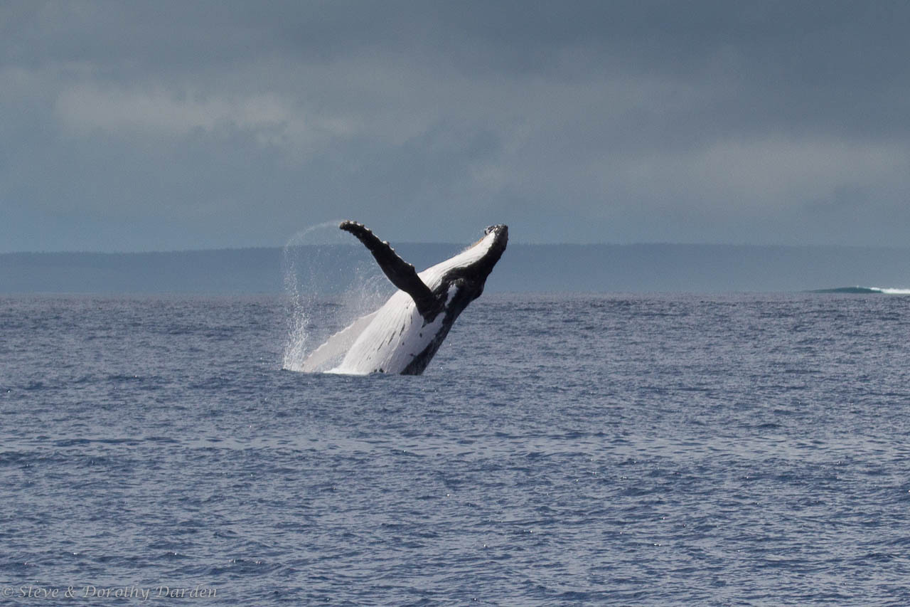 We were treated to the sight of a breaching young humpback whale enroute to Isle of Pines.