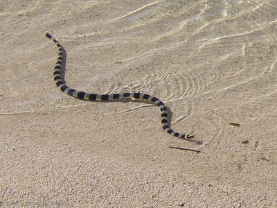 This Tricot Raye sea snake was searching for small fish in the shallows of Ilot Maitre.