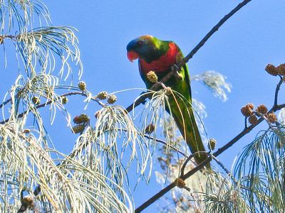 Parrot feeding on the seeds of a Cassuarina tree