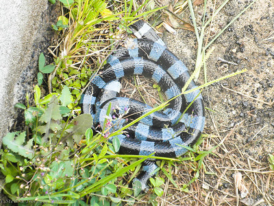 Fred found a blue and black striped Tricot Raye snake at Kuto Bay.