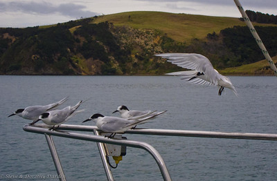 White-fronted Terns visited ADAGIO