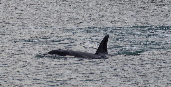 Orcas in Te Pahi