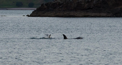 Tail fluke of baby and mother Orcas in Te Pahi