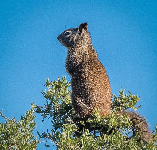 Sentinel Squirrel