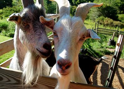 Pair o' Goats!