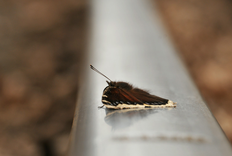 Mourning Cloak Portrait