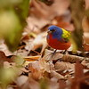 Painted Bunting On the Ground