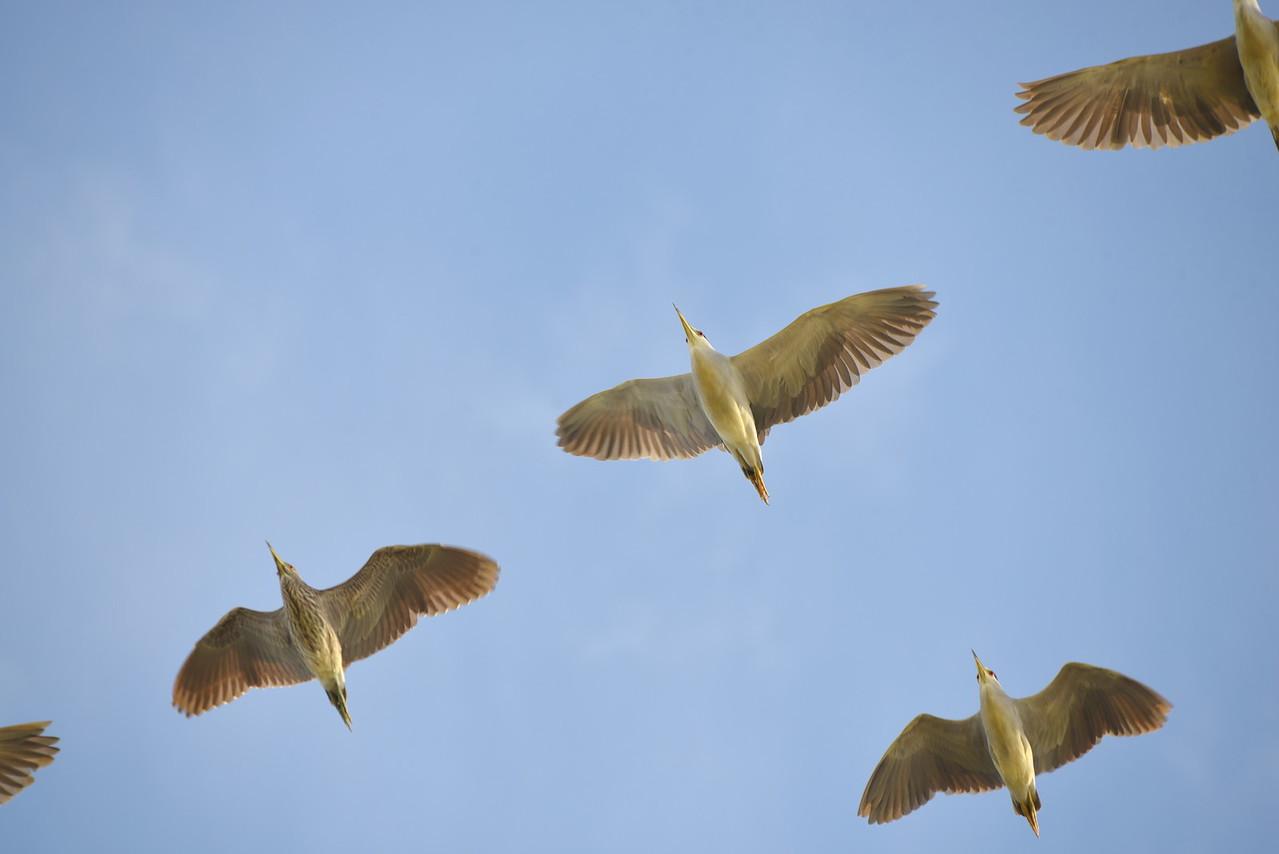 Flock Of Black-Crowned Night Herons