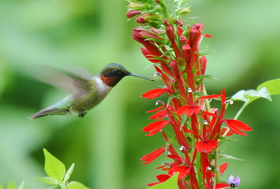 Hummingbird At Cardinal Flower