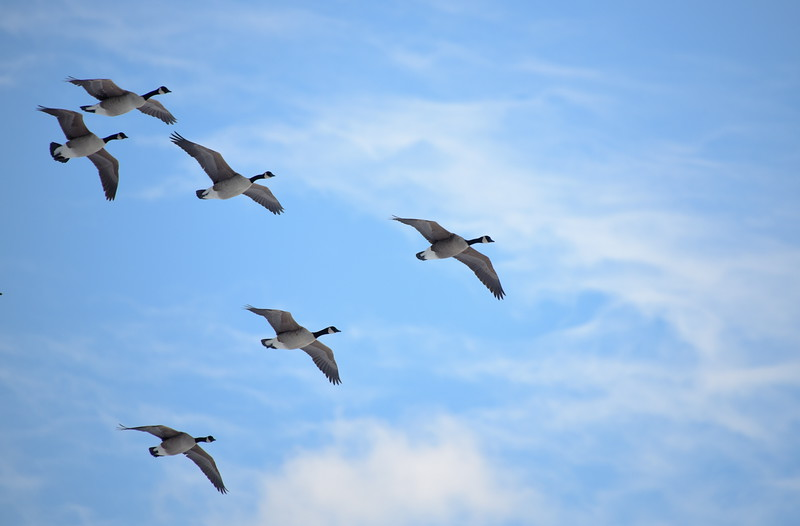 Canada Geese Over Prospect Park