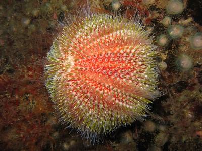 Echinus esculentus - Oursin globuleux