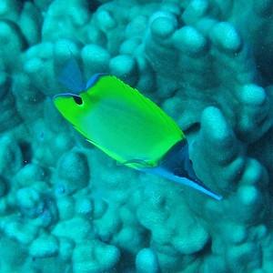 Longnose butterflyfish (Forcipiger flavissimus)