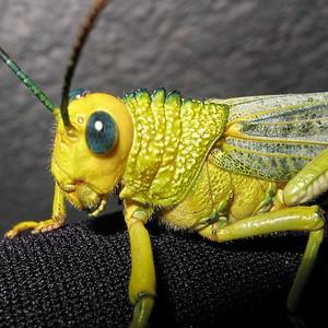 Giant grasshoper (Tropidacris collaris)