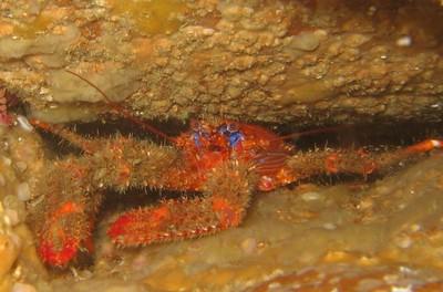 Galathée bicolore (Galathea strigosa)