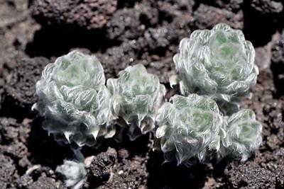 Volcano plants