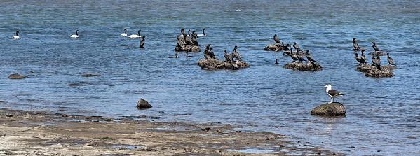 Swans, Cormoran and Sea gull