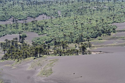 Araucarias that escaped the lava flow