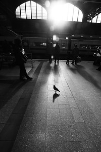 Lost pigeon