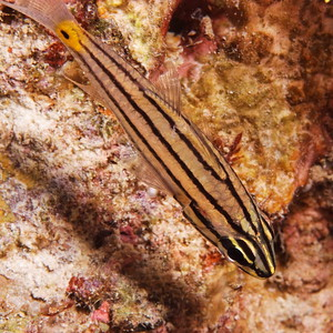 Apogon angustatus