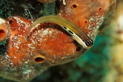 Ecsenius bimaculatus