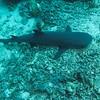 Sipadan shark - Carcharhinus amblyrhynchos