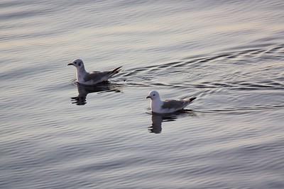 Sea gulls on calm seas