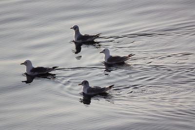 Sea gulls on calm seas