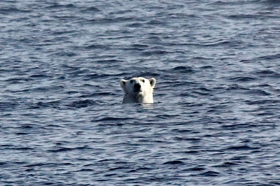 Polar bear in the middle of nowhere