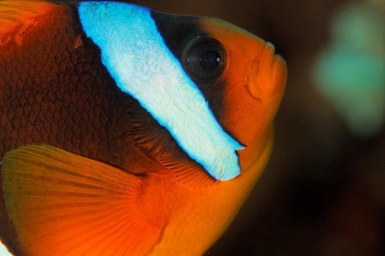 Amphiprion bicinctus - St John's reef, Egypt