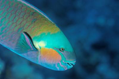 Parrot fish (Chlorurus sordidus) - St John's reef, Egypt