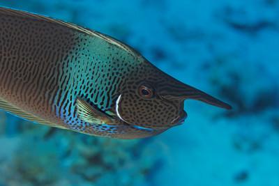 Surgeon fish (Naso brevirostris) - St John's reef, Egypt