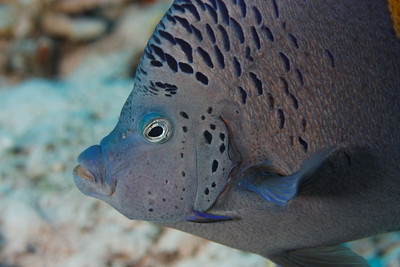 Angel fish (Pomacanthus asfur) - St John's reef, Egypt