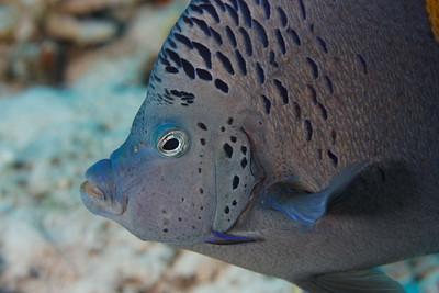 Angel fish (Pomacanthus asfur) - St John's reef, Egypt