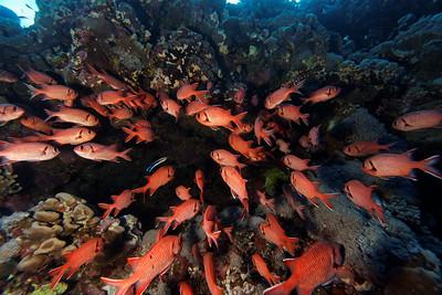 Soldier fish - Myripristis murdjan - St John's reef, Egypt