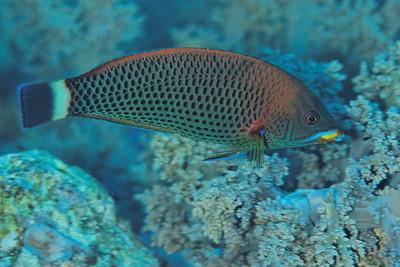 Pseudodax moluccanus