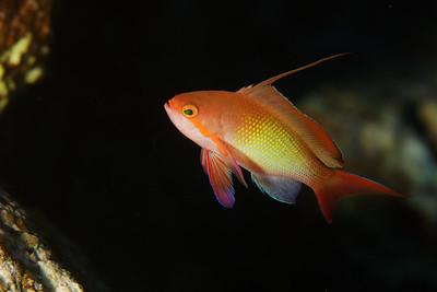 Anthias (Pseudanthias squamipinnis) - St John's reef, Egypt