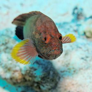 Cephalopholis hemistiktos - St John's reef, Egypt