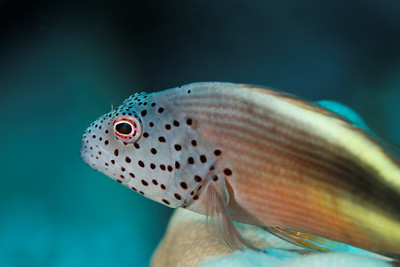 Hawkfish (Parracirrhites forsterii) - St John's reef, Egypt