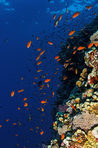Anthiases on the reef - St John's reef, Egypt