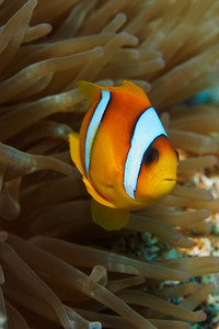Clown fish (Amphiprion bicinctus) - St John's reef, Egypt