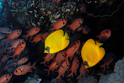 Masked butterfly fish and soldier fish (Myripristis murdjan)