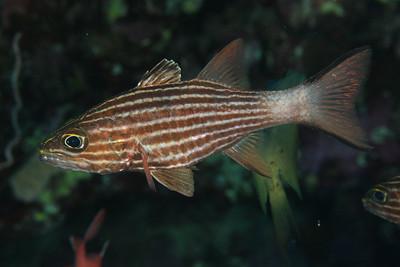 Cheilodipterus macrodon