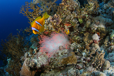 Clownfish and fluorescent anemone