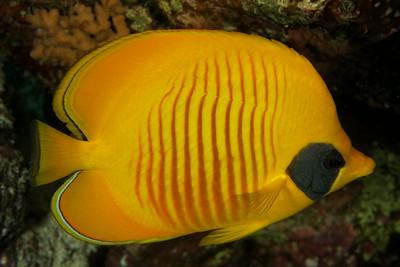 Chaetodon semilarvatus