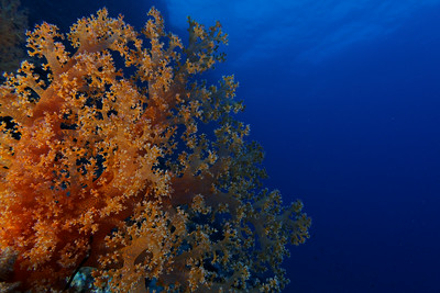 Soft coral and deep blue
