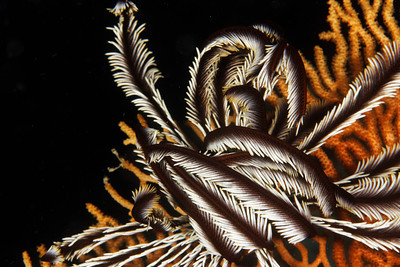 Crinoid - Maratua, East Kalimantan, Borneo, Indonesia - July 2011