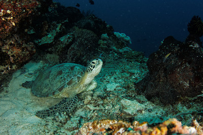 Turtle - Maratua atoll - Maratua, East Kalimantan, Borneo, Indonesia - July 2011