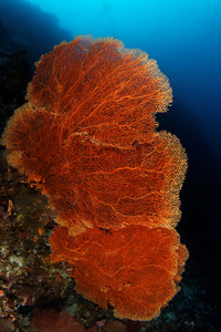 Gorgonian - Maratua atoll - Maratua, East Kalimantan, Borneo, Indonesia - July 2011