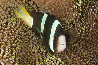 Amphiprion clarkii - Maratua, East Kalimantan, Borneo, Indonesia - July 2011